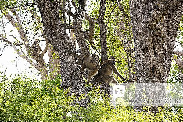 Eine Familie von Pavianen unter Bäumen in einem Wildreservat.