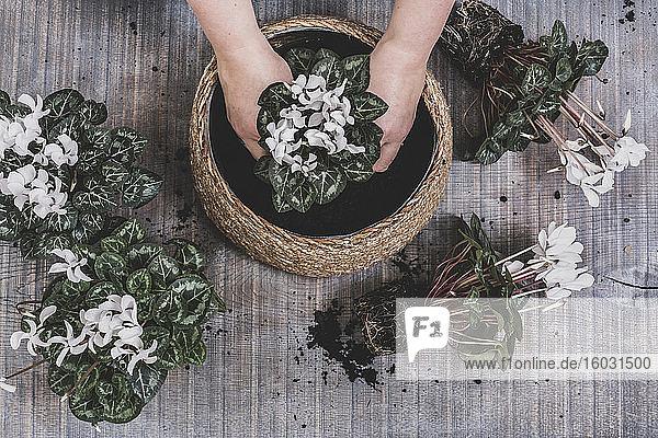 Frau  die eine große Schale mit weiß blühenden Cyclamen-Pflanzen eintopft.