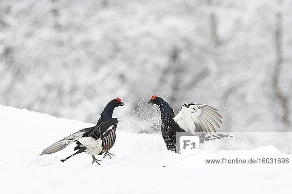 Birkhühner (Lyrurus tetrix)  zwei balzende Birkhähne kämpfend im Schnee  Tirol  Österreich  Europa