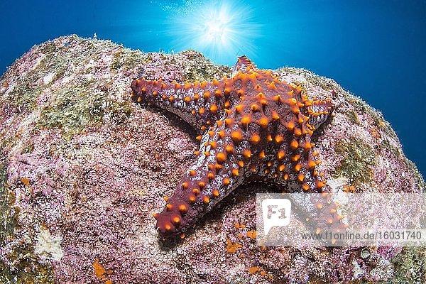 Panamaischer Noppen-Seestern (Pentaceraster cumingi)  Nationalpark des Espiritu-Santo-Archipels  Sea of Cortez  Baja California  Mexiko  Mittelamerika