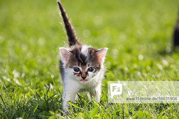 Junge Hauskatze (Felis silvestris catus) läuft im Gras  3 Wochen  Deutschland  Europa