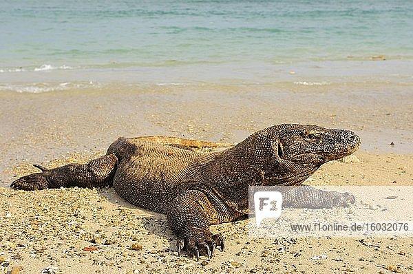 Komodowaran (Varanus komodoensis) liegt am Wasser  Insel Rinca  Indonesien  Asien