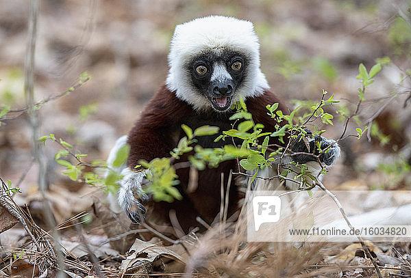 Porträt Lemuren fressende Pflanzen