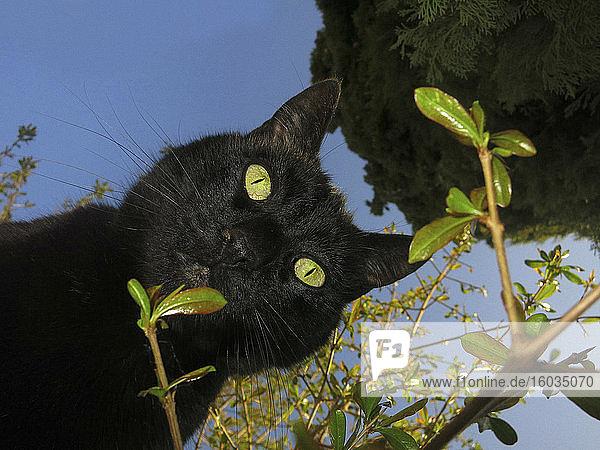 Porträt neugierige schwarze Katze von unten