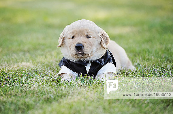 Golden Retriever puppy in tuxedo costume laying n grass