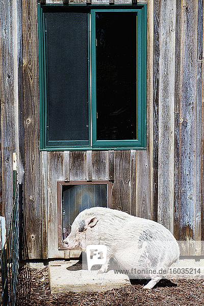 Hausschwein tritt auf sonnigen Betonblock