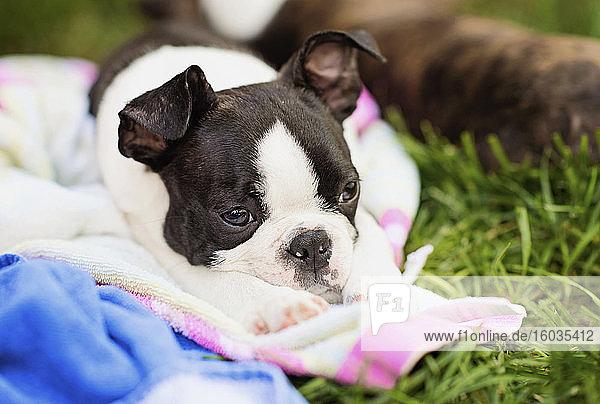 Müde Boston-Terrier-Welpe schläft auf einer Decke im Gras