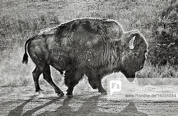 Bison walking in dirt along roadside  Yellowstone  Wyoming  USA
