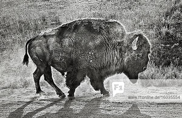 Bison geht im Dreck am Straßenrand  Yellowstone  Wyoming  USA