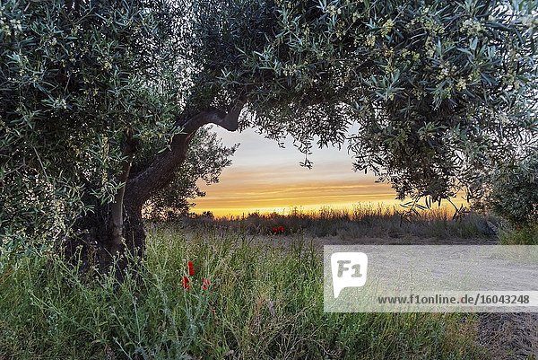 It dawns in the olive grove. Pinto. Madrid. Spain. Europe.