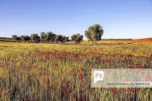 Poppies among the wheat and olive tress on the background on a sunny day. Pinto. Madrid. Spain. Europe.