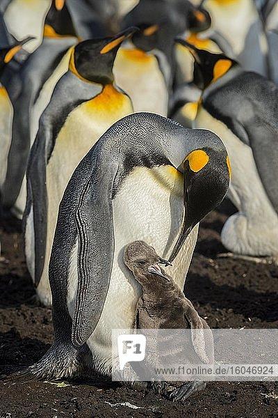 Königspinguin (Aptenodytes patagonicus) mit Küken  Brutkolonie  Volunteer Point  Falkland Inseln