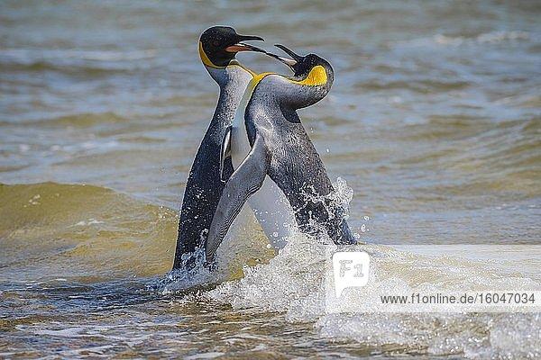 Zwei Königspinguine (Aptenodytes patagonicus) streiten sich im Wasser  Volunteer Point  Falkland Inseln