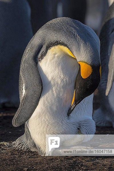 Königspinguin (Aptenodytes patagonicus) schaut nach seinem Ei auf den Füßen  Volunteer Point  Falkland Inseln
