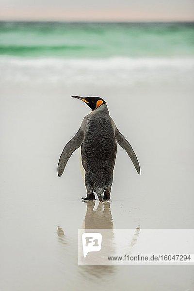 Königspinguin (Aptenodytes patagonicus) am Strand  Rückansicht  Volunteer Point  Falkland Inseln