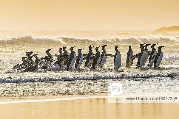 Königspinguine (Aptenodytes patagonicus)  Gruppe in der Brandung am Strand  Volunteer Point  Falkland Inseln