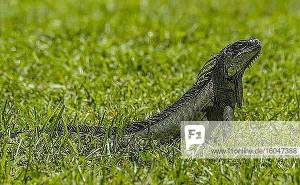 Junger Leguan im Gras