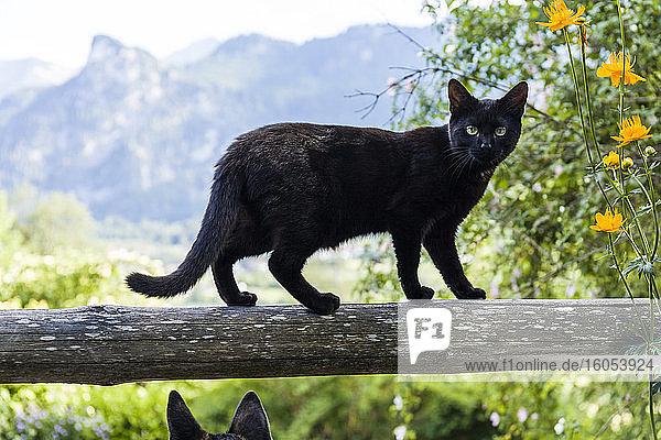 Porträt einer schwarzen Katze  die auf einem Holzgeländer balanciert Porträt einer schwarzen Katze, die auf einem Holzgeländer balanciert
