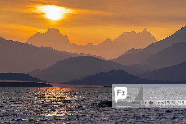 Schote des Orca-Wals (Orcinus orca) im Lynn-Kanal mit dem Chilkat-Gebirge im Hintergrund  Südost-Alaska; Alaska  Vereinigte Staaten von Amerika