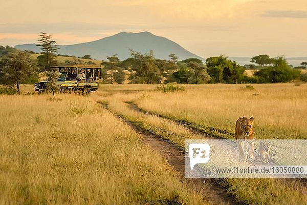 Löwin (Panthera leo) und Jungtier gehen die Straße entlang  weg vom Safari-Truck  während Touristen beobachten und fotografieren; Tansania