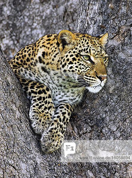 Leopard (Panthera pardus) liegt in einem Baum und schaut hinaus; Okavango-Delta  Botswana