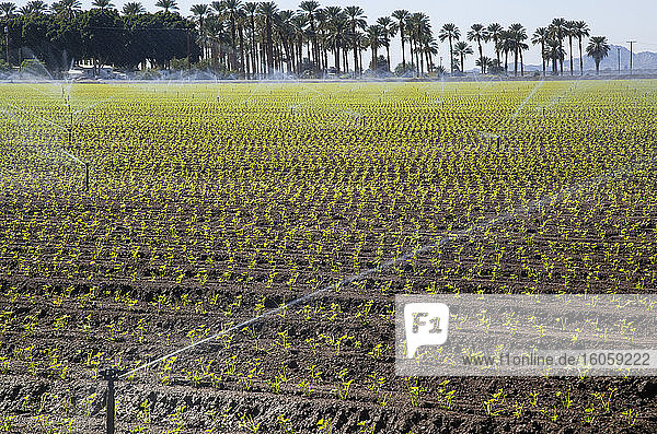 Irrigating a field of young cilantro plants  palm trees and mountains in the distance; Winterhaven  Arizona  United States of America