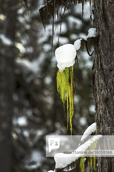 Close up of green moss hanging from a tree branch with snow on top; Lake Louise  Alberta  Canada