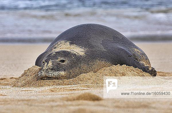 Close-up of a Hawaiian Monk Seal (Neomonachus schauinslandi) on the beach; Kihei  Maui  Hawaii  United States of America