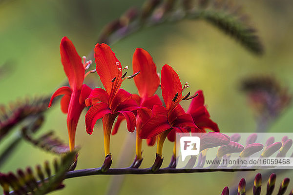 Lucifer Crocosmia blooms in a flower garden; Astoria  Oregon  United States of America