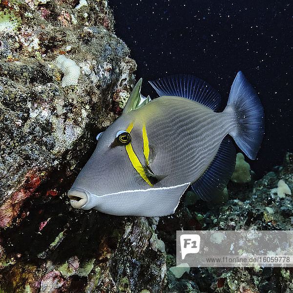 This Lei Triggerfish (Sufflamen bursa) with partially erected dorsal fin spines was photographed underwater just offshore of Kihei  Maui  Hawaii  USA. It is circling above a small area suggesting that this is a courtship display; Maui  Hawaii  United States of America