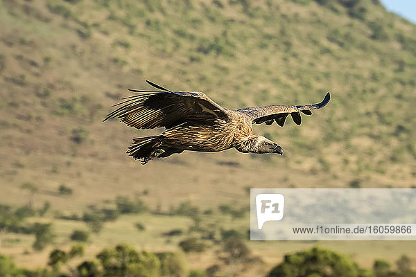 Profile of African white-backed vulture (Gyps africanus) soaring over steep hillside on the savanna; Tanzania