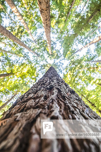 Looking directly up the bark of a tree trunk at the treetops of the California Redwoods (Sequoia sempervirens) and blue sky; Beech Forest  Victoria  Australia