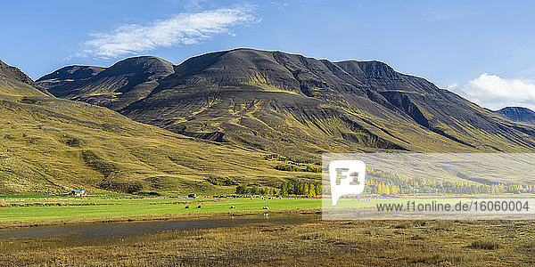 Sheep (Ovis aries) grazing on lush farmland with mountains in the background; Blonduos  Northwestern Region  Iceland