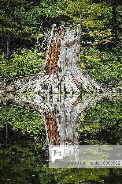 Pine tree stump on lakeshore with mirror image reflection in water; Quebec  Canada