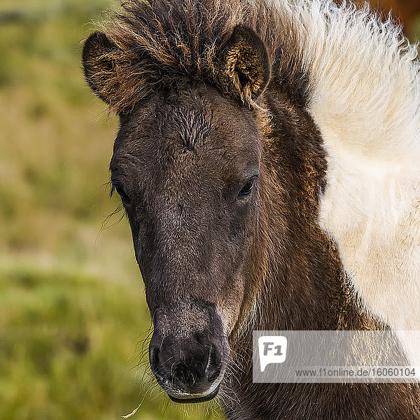 Close-up of the head and mane of a brown and white horse (Equus caballus); Hornafjorour  Eastern Region  Iceland