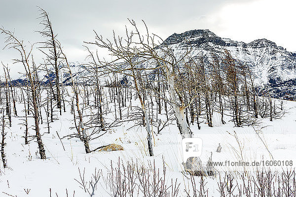 Barren trees on a snow-covered hill with a snow-covered mountain in the background  Waterton Lakes National Park; Waterton  Alberta  Canada