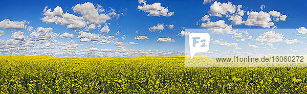Panorama of a canola field under a blue sky with cloud; Alberta  Canada