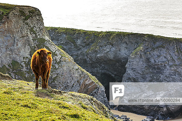 Lone cow standing on rocky shoreline with rugged cliffs; Cornwall County  England