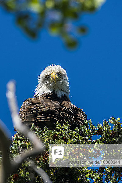 Bald Eagle (Haliaeetus leucocephalus) perched in a tree against a blue sky; Yukon  Canada