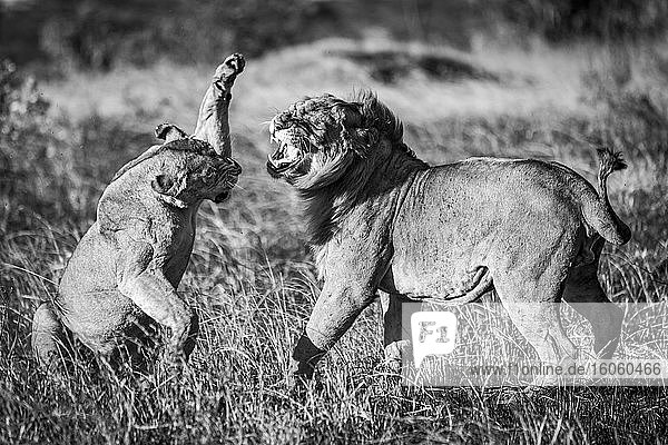 A lioness (Panthera leo) is about to slap a male lion with its paw after mating. They both have golden coats and are standing on a patch of burnt grass in the warm evening light. Shot with a Nikon D810 in the Serengeti; Tanzania