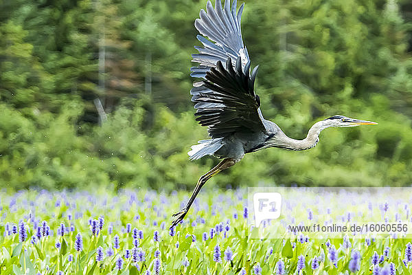 Great blue heron (Ardea herodias) taking off in a patch of pickerelweed plants (Pontederia cordata)  La Mauricie National Park; Quebec  Canada
