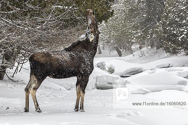 Moose cow (Alces americanus) eats cedar tree along a frozen river in winter  Gaspesie National Park; Quebec  Canada