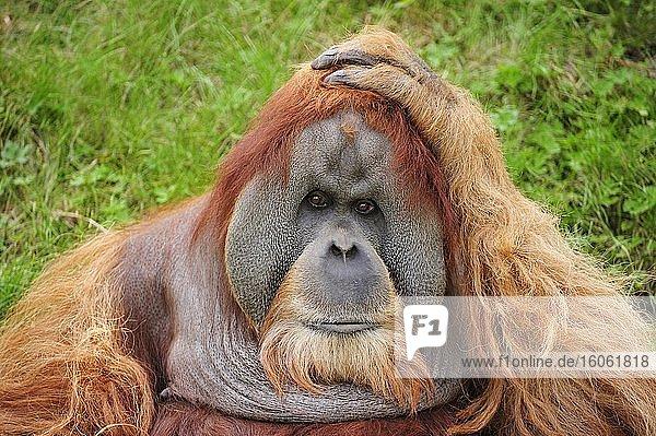 Orang-Utan (Pongo)  Männchen  Portrait  captive
