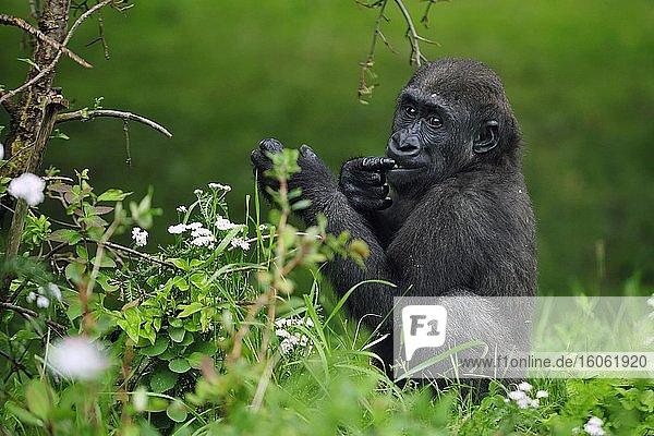 Westlicher Flachlandgorilla (Gorilla gorilla gorilla)  Jungtier  sitzt und frißt Pflanzen  captive