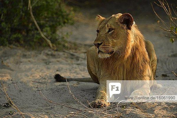Löwe (Panthera leo) männlich  Männchen  Jungtier ruht im Schatten von einem Busch  Chobe Nationalpark  Chobe District  Botswana  Afrika