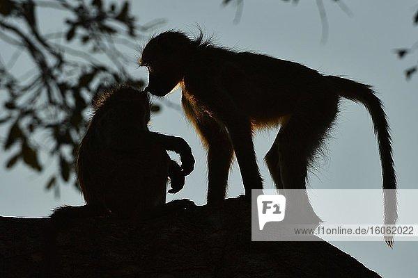 Zwei Bärenpaviane (Papio ursinus) sitzen im Gegenlicht auf einem Baum und beschnuppern sich  Chobe-Nationalpark  Botswana  Afrika