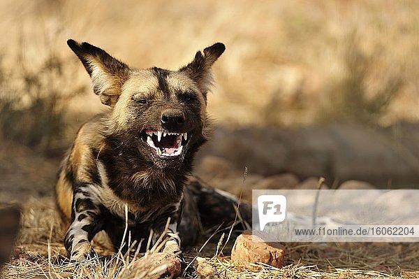Afrikanischer Wildhund (Lycaon pictus)  bedrohte Art  zeigt Zähne  Namibia  Afrika