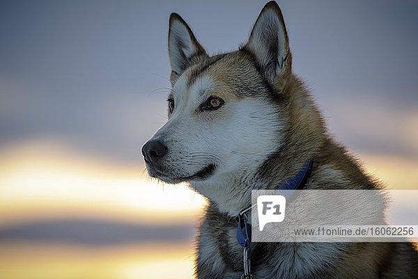 Portrait Husky in der Morgensonne  Norrbottens län  Schweden  Europa