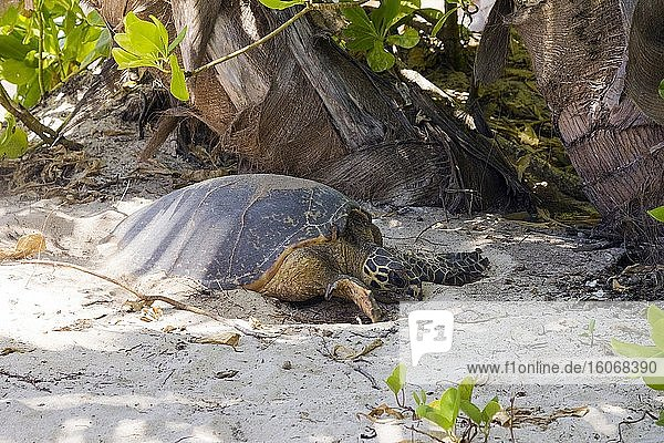 A Hawkbill Turtle is digging a nest in the sand to lay eggs on the beach at Lemuria Resort on Praslin island. Seychelles. Due to beach erosion the beach is so short  the turtles have to lay there eggs almost in the garden among the trees and sun chairs. This create a conflict between turtles and tourism. The beach erosion is caused by climate change and death of the coral reefs. Photo: Andr? Maslennikov