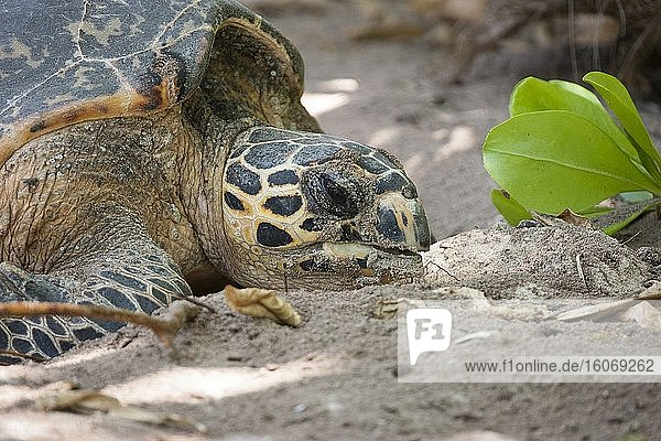 A Hawkbill Turtle laying eggs on the beach at Lemuria Resort on Praslin island. Seychelles. Due to beach erosion the beach is so short  the turtles have to lay there eggs almost in the garden among the trees and sun chairs. This create a conflict between turtles and tourism. The beach erosion is caused by climate change and death of the coral reefs. Photo: Andr? Maslennikov